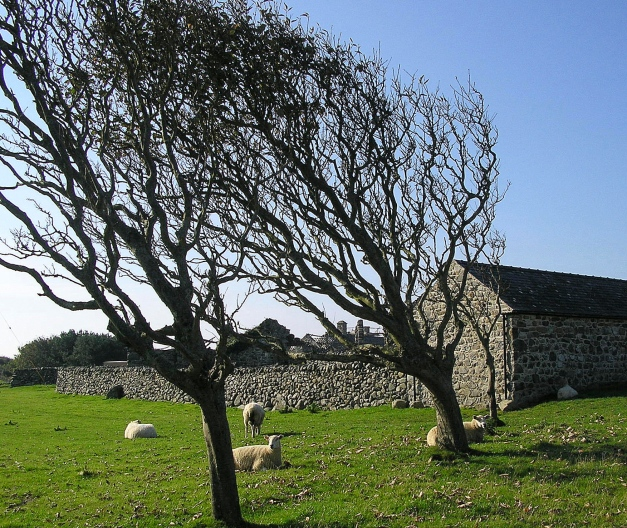Wind has shaped these trees, but they still provide shelter for local sheep